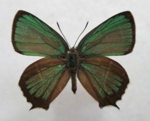 ミドリシジミ♂